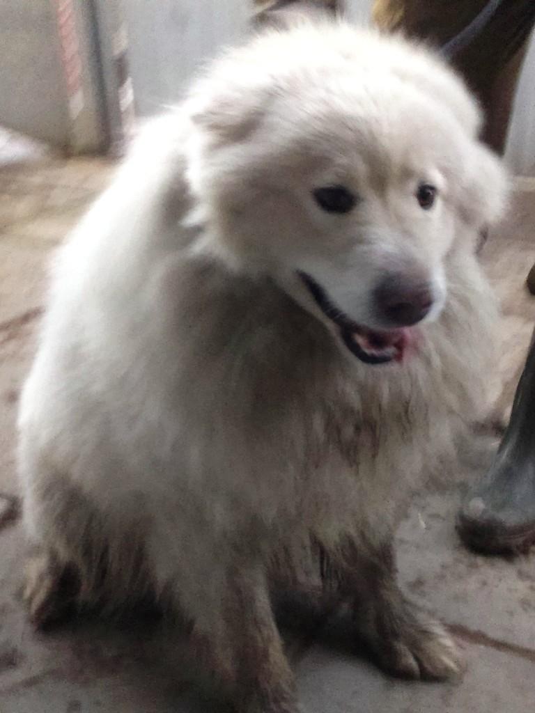 Modish Samojed | Schronisko Psie Pole BS75