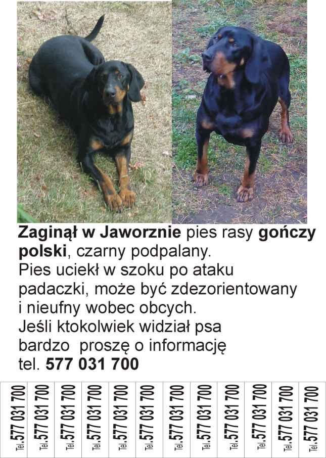 zaginiony-gonczy-polski